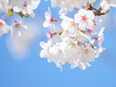 桜 新年度始まりました!